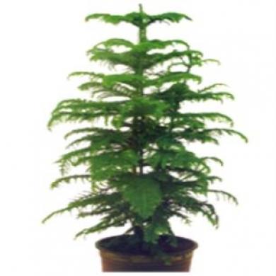Yeşil Saksı Arucarya Çam 140 cm