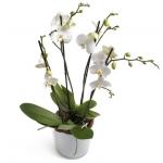 Vazoda Dört Dal Orkide