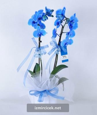 Mavi Orkide İki Dal