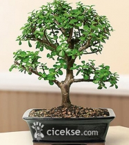 Bonsai Bodur Ağaç