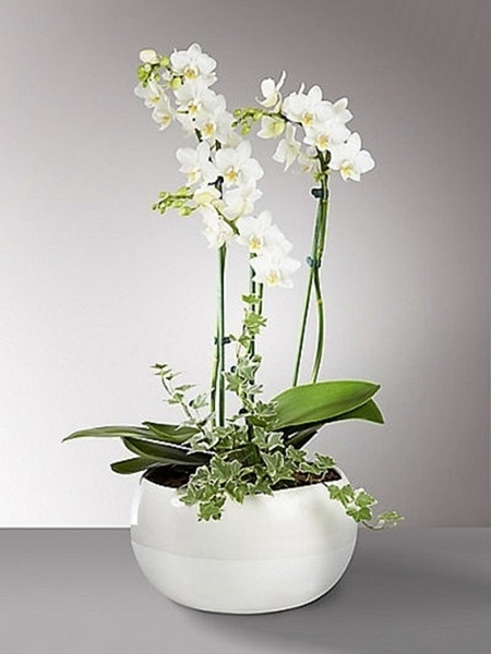 3 Dallı Orkide