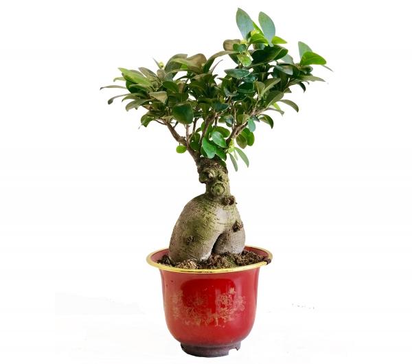 Bonsai kampanya