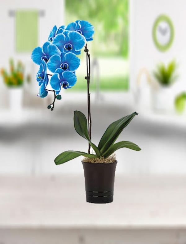 Mavi Orkide Tekdal
