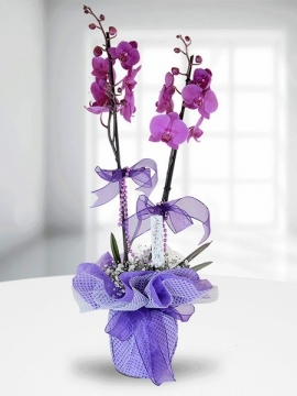 Fuşya Orkide İki Dal