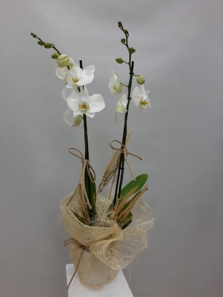 2 Dal Beyaz Orkide