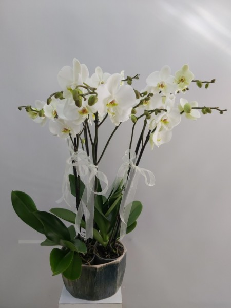 Orkide İzmir  6 Dal Porselen Saksıda
