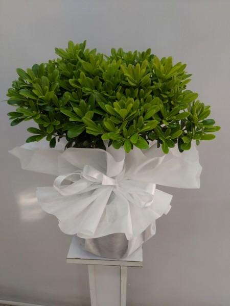 Pitos Saksı Çiçeği