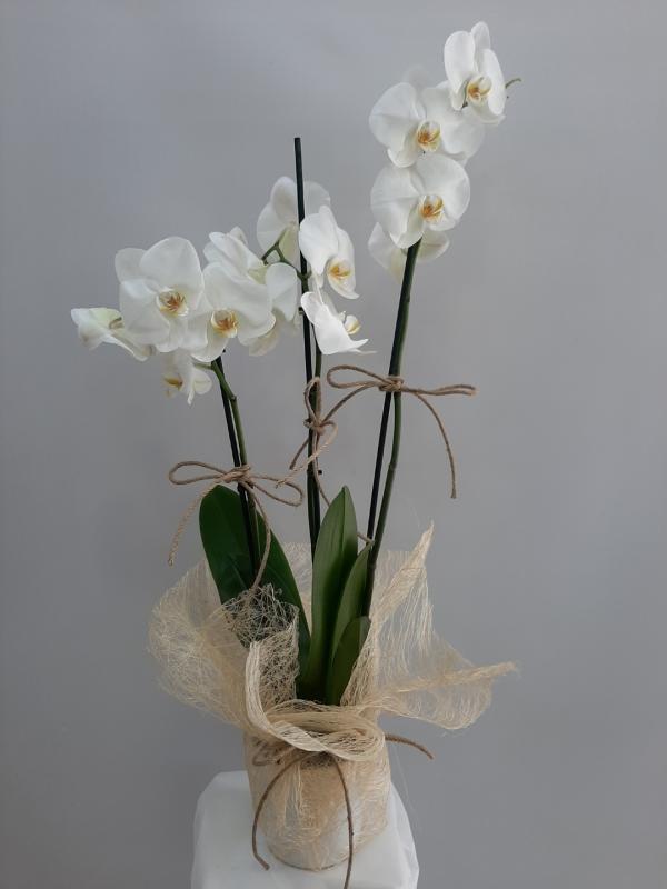 Orkide 3 Dal Beyaz Renk