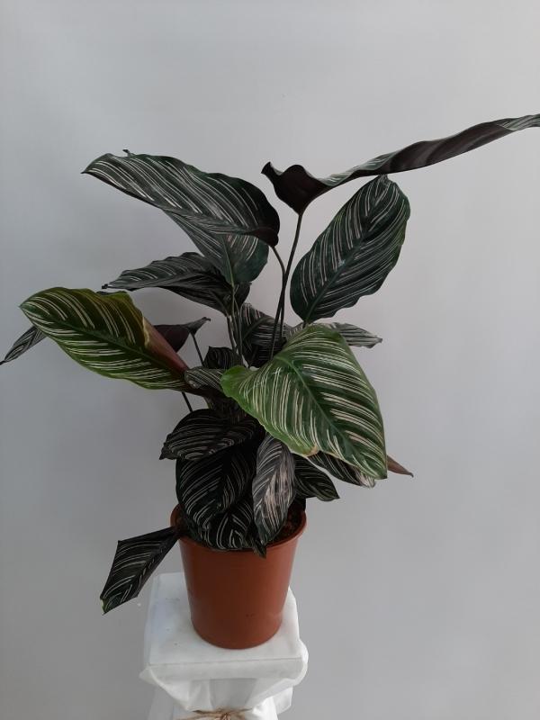 Galetya Saksı Çiçeği
