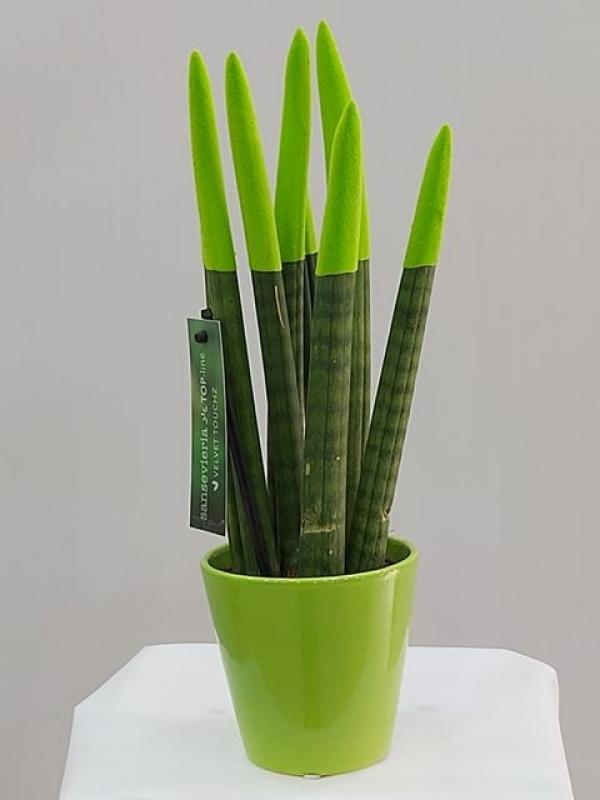 Yeşil Sansevieria (Sanseverya)