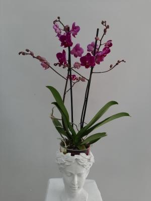 Multi Orkide Helen Vazoda