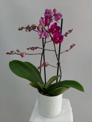 Multi Orkide Mor