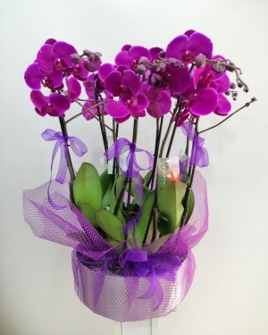 Mor Orkide 8 dal